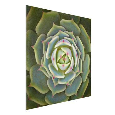 Forex Fine Art Print - Sukkulente - Echeveria Ben Badis - Quadrat 1:1