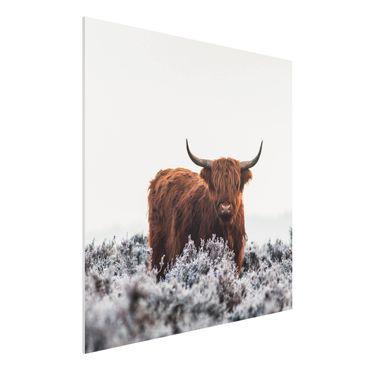 Forex Fine Art Print - Bison in den Highlands - Quadrat 1:1