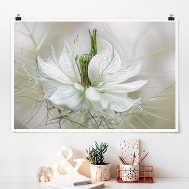 Poster - Weiße Nigella - Querformat 2:3