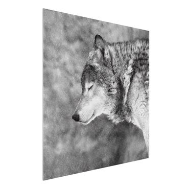 Forex Fine Art Print - Winter Wolf - Quadrat 1:1