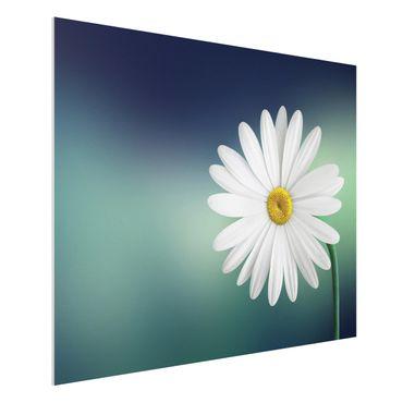 Forex Fine Art Print - Gänseblümchen Close Up - Querformat 3:4