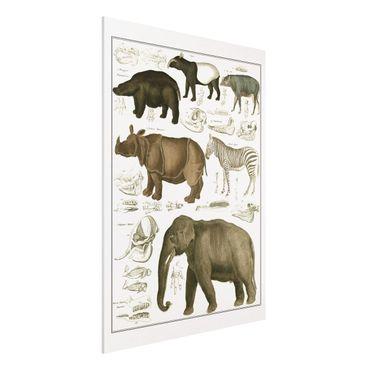 Forex Fine Art Print - Vintage Lehrtafel Elefant, Zebra und Nashorn - Hochformat 4:3