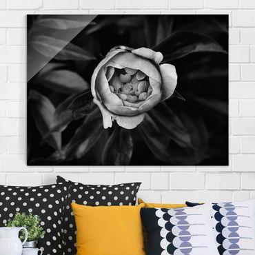 Glasbild - Pfingstrosenblüte vor Blättern Schwarz Weiß - Querformat 3:4