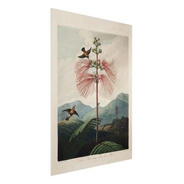 Forex Fine Art Print - Botanik Vintage Illustration Blüte und Kolibri - Hochformat 4:3