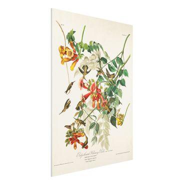 Forex Fine Art Print - Vintage Lehrtafel Rubinkehlkolibris - Hochformat 4:3