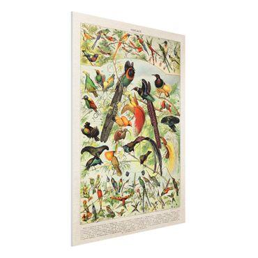 Forex Fine Art Print - Vintage Lehrtafel Paradiesvögel - Hochformat 4:3