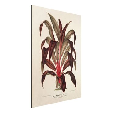 Aluminium Print gebürstet - Botanik Vintage Illustration Drachenbaum - Hochformat 4:3