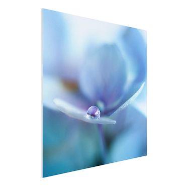 Forex Fine Art Print - Wassertropfen Hortensienblüte - Quadrat 1:1