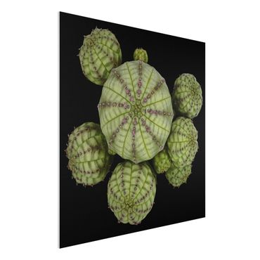 Forex Fine Art Print - Euphorbia - Seeigelwolfsmilch - Quadrat 1:1