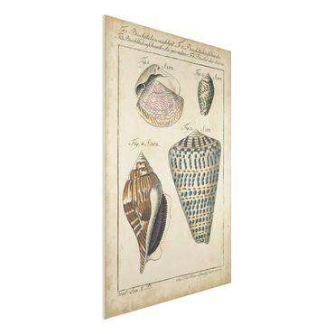 Forex Fine Art Print - Vintage Muschel Zeichnung Bunte Muster - Hochformat 3:2