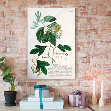 Glasbild - Vintage Botanik Illustration Lorbeer - Hochformat 3:2