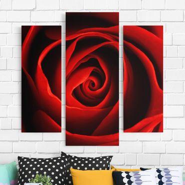 Leinwandbild 3-teilig - Liebliche Rose - Galerie Triptychon