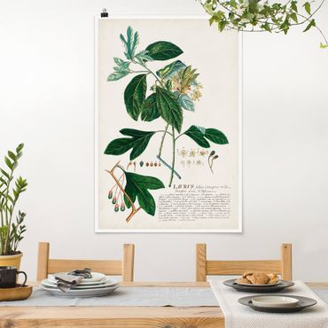 Poster - Vintage Botanik Illustration Lorbeer - Hochformat 3:2