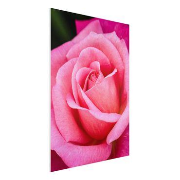 Forex Fine Art Print - Pinke Rosenblüte vor Grün - Hochformat 4:3