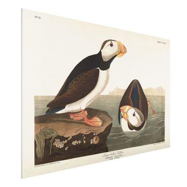 Forex Fine Art Print - Vintage Lehrtafel Papageientaucher II - Querformat 2:3
