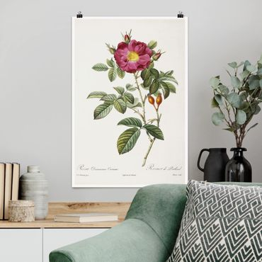 Poster - Pierre Joseph Redouté - Portland-Rose - Hochformat 3:2