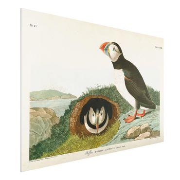 Forex Fine Art Print - Vintage Lehrtafel Papageientaucher - Querformat 2:3