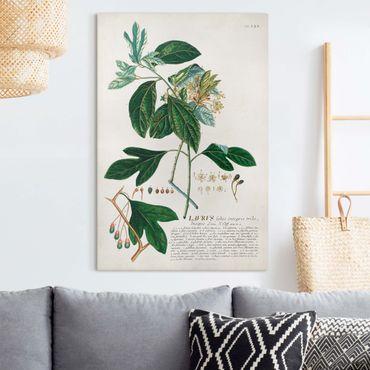 Leinwandbild - Vintage Botanik Illustration Lorbeer - Hochformat 3:2