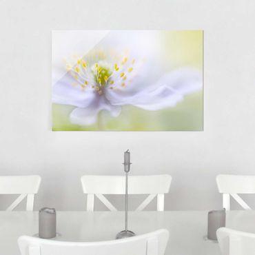 Glasbild - Anemonen Schönheit - Quer 3:2