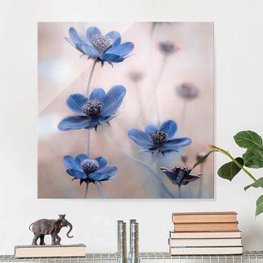 Glasbild - Blaue Kosmeen - Quadrat 1:1