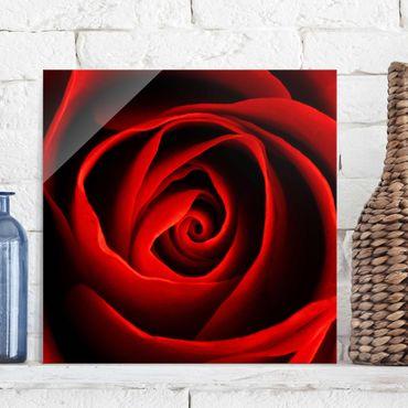 Glasbild - Liebliche Rose - Quadrat 1:1 - Blumenbild Glas