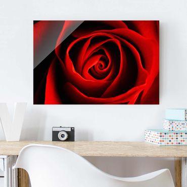 Glasbild - Liebliche Rose - Quer 3:2 - Blumenbild Glas