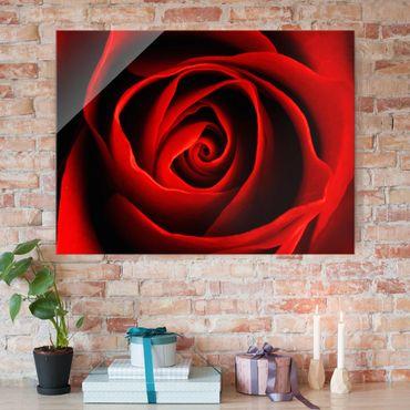 Glasbild - Liebliche Rose - Quer 4:3 - Blumenbild Glas