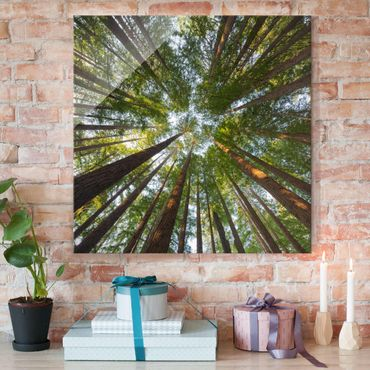 Glasbild - Mammutbaum Baumkronen - Quadrat 1:1 - Waldbild Glas