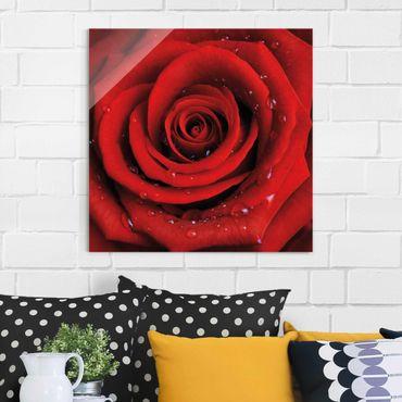 Glasbild - Rote Rose mit Wassertropfen - Quadrat 1:1 - Blumenbild Glas