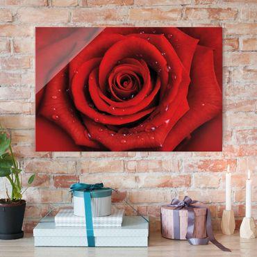 Glasbild - Rote Rose mit Wassertropfen - Quer 3:2 - Blumenbild Glas