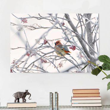Glasbild - Seidenschwanz im Baum - Querformat 3:2