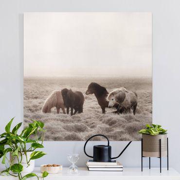 Leinwandbild - Island Wildpferde - Quadrat 1:1