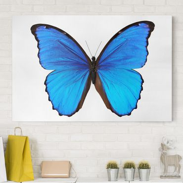 Leinwandbild - Blauer Morphofalter - Quer 3:2