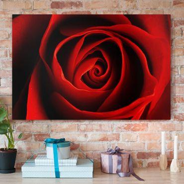 Leinwandbild - Liebliche Rose - Quer 3:2