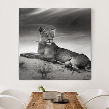Leinwandbild Schwarz-Weiß - Resting Lion - Quadrat 1:1