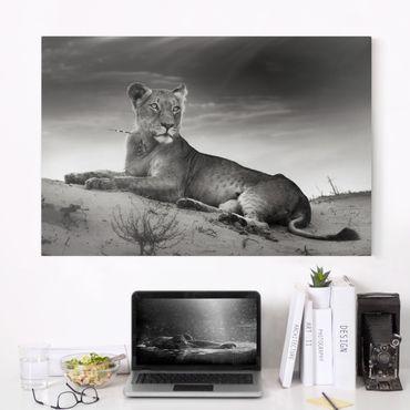 Leinwandbild Schwarz-Weiß - Resting Lion - Quer 3:2