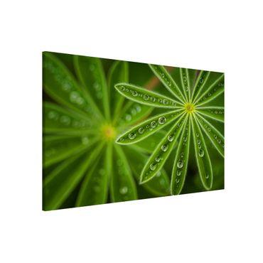 Magnettafel - Morgentau auf Lupinenblättern - Memoboard Querformat 2:3