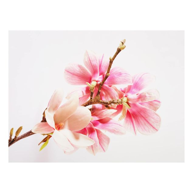 Glas Spritzschutz - Magnolienblüten - Querformat - 4:3