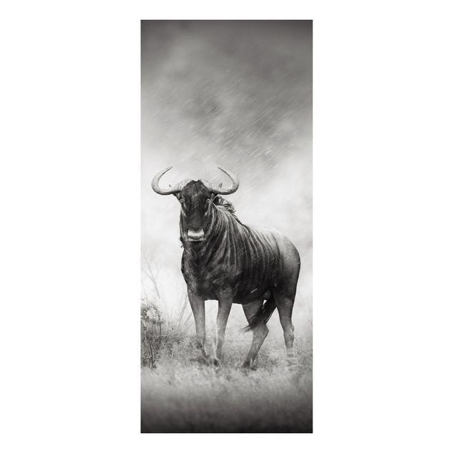 Alu-Dibond Bild - Staring Wildebeest