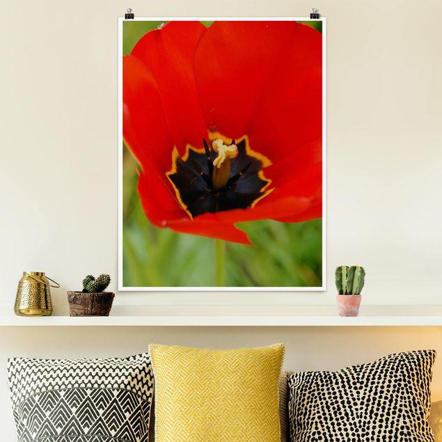 Poster - Amazing Red Tulips - Hochformat 3:4