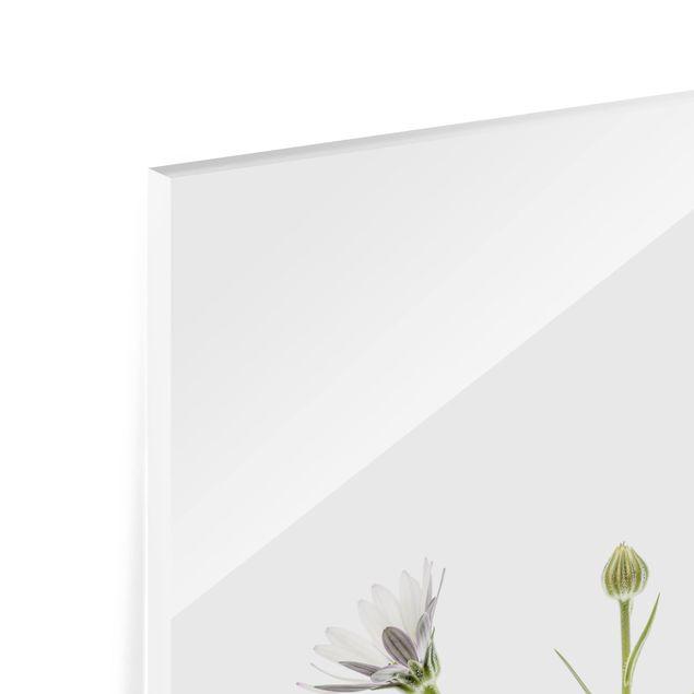Glas Spritzschutz - Kap - Gänseblümchen - Quadrat - 1:1