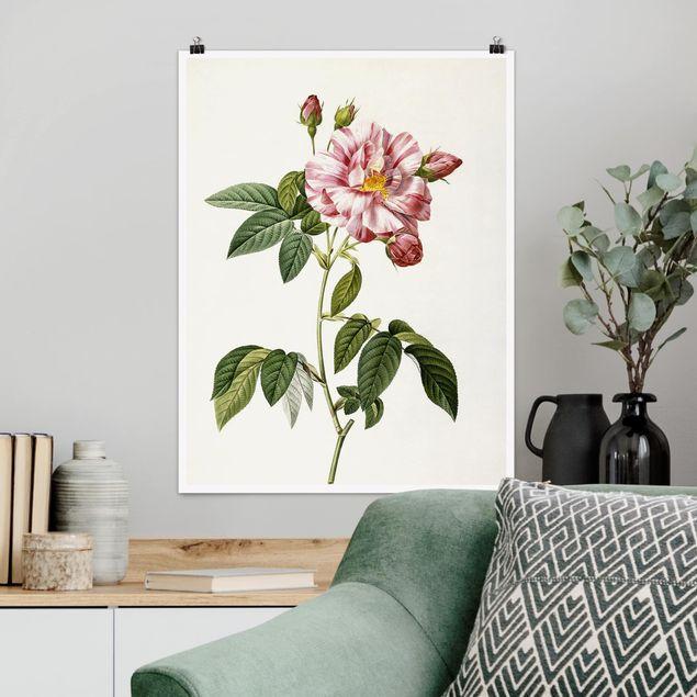 Poster - Pierre Joseph Redouté - Rosa Gallica-Rose - Hochformat 3:4