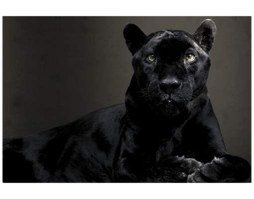 Fensterfolie - Sichtschutz Fenster Black Puma - Fensterbilder