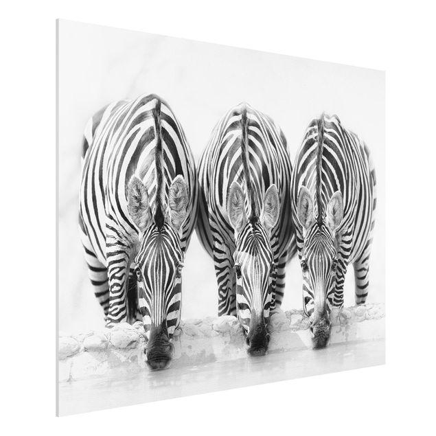 Forex Fine Art Print - Zebra Trio schwarz-weiß - Querformat 3:4