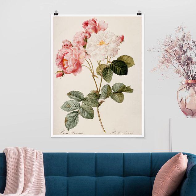 Poster - Pierre Joseph Redouté - Damaszener-Rose - Hochformat 3:4