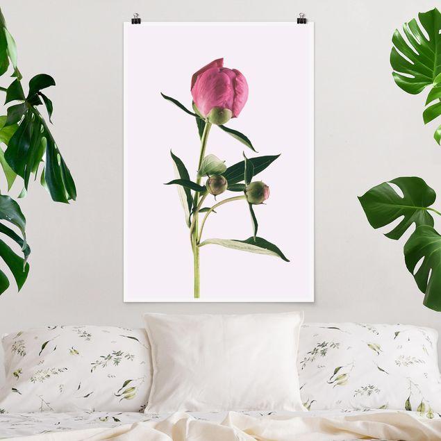 Poster - Pfingstrose Pink auf Weiß - Hochformat 3:2