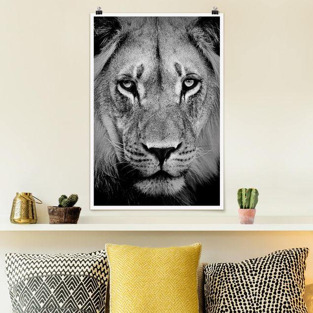 Poster - Alter Löwe - Hochformat 3:2
