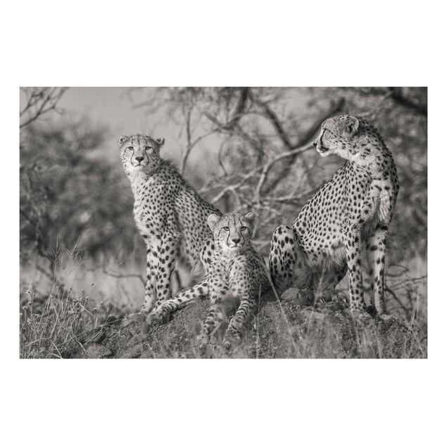 Forex Fine Art Print - Drei Geparden - Querformat 2:3