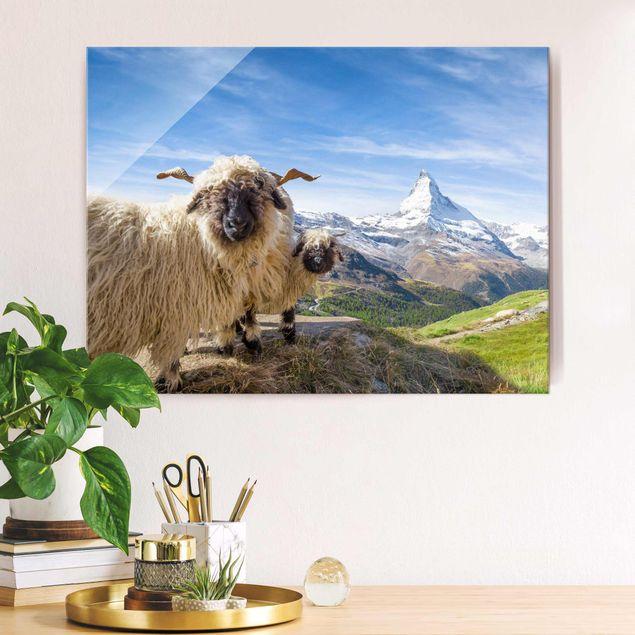 Glasbild - Schwarznasenschafe von Zermatt - Querformat 4:3