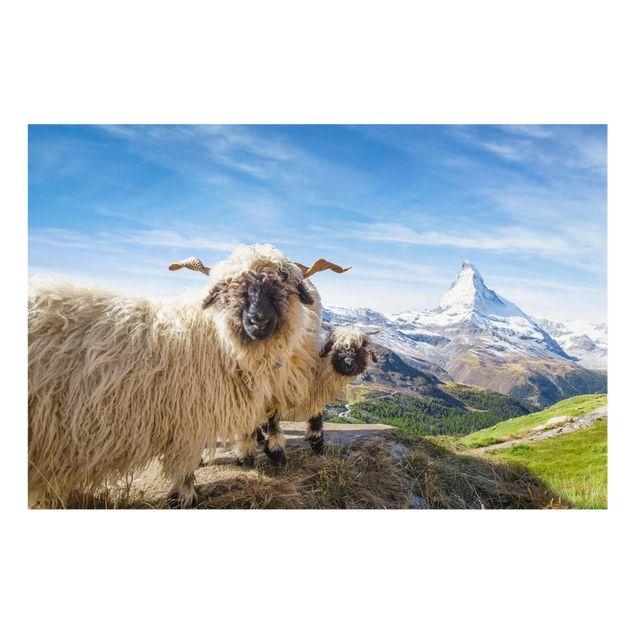 Glasbild - Schwarznasenschafe von Zermatt - Querformat 3:2